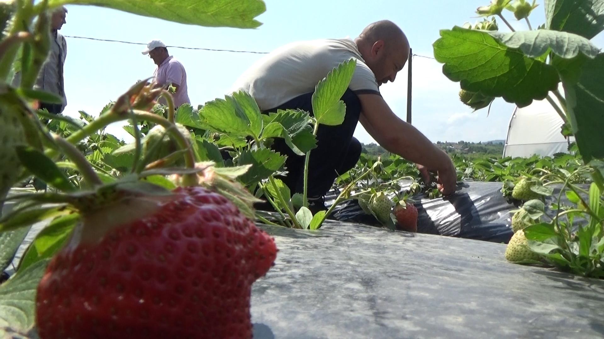 Sanjani sami na plantaži beru jagode