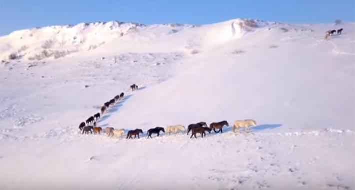 Pogledajte fascinantne snimke posljednjeg velikog krda divljih konja u Evropi (VIDEO)