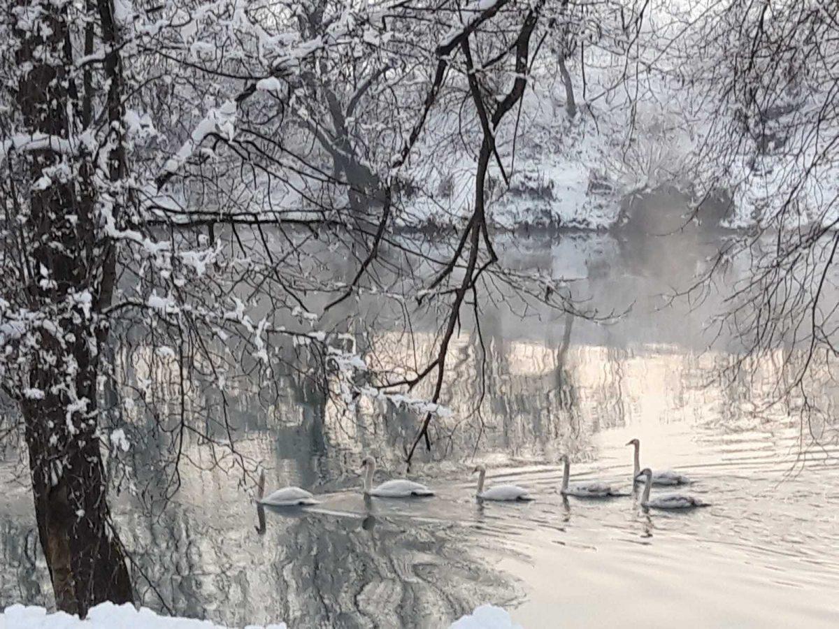 Par labudova na rijeci Sani oduševljava prolaznike