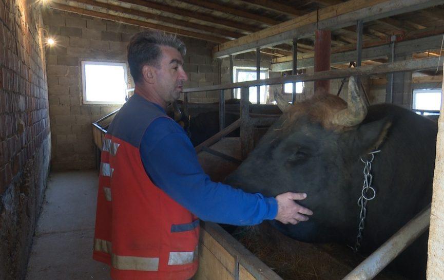 Ljubav prema bikovima jača od svega