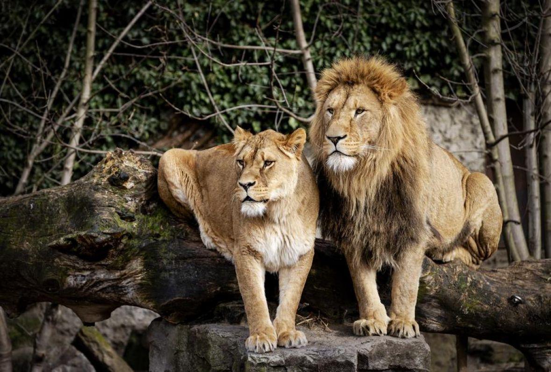 Indija: U safari parku Etawah dva lava zaražena koronom