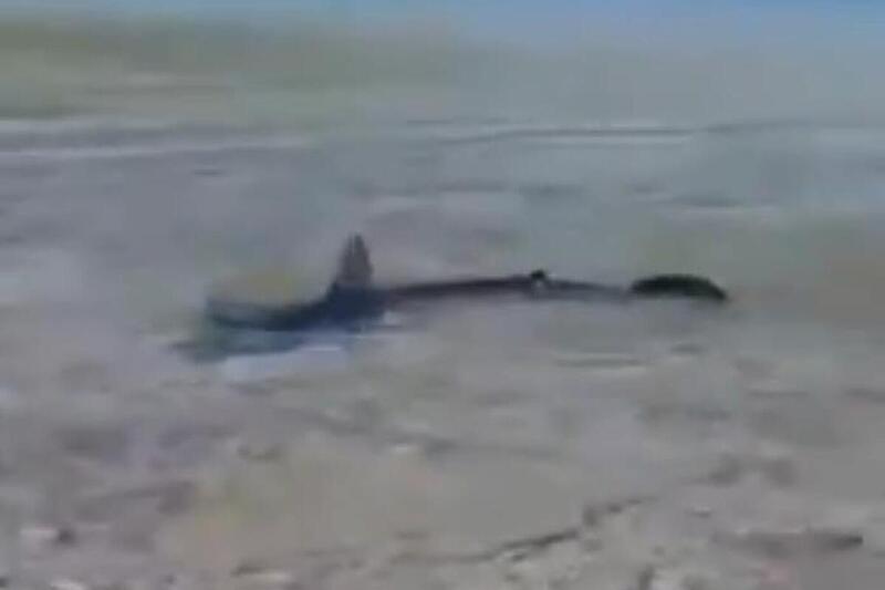 Morski pas dug dva metra snimljen u plićaku na Korčuli