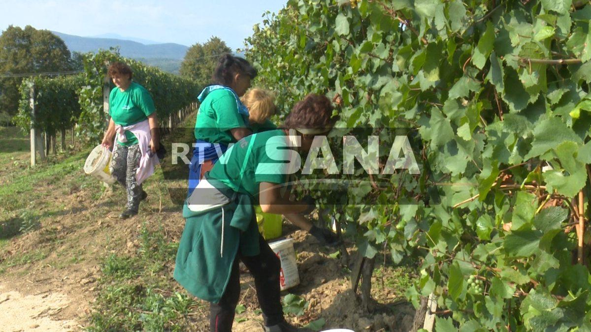 Na plantaži Tatarević u toku berba grožđa